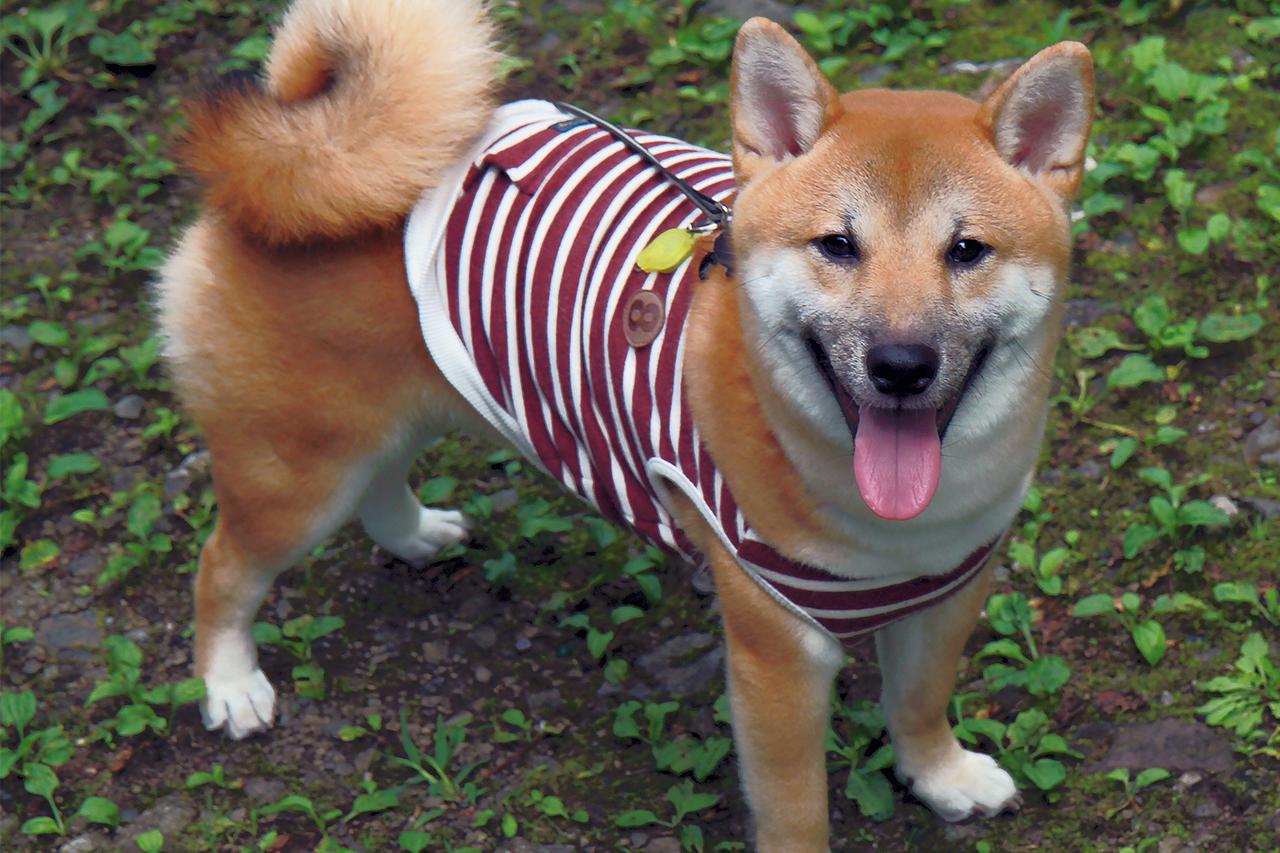 柴犬ハナ 生後8ヵ月