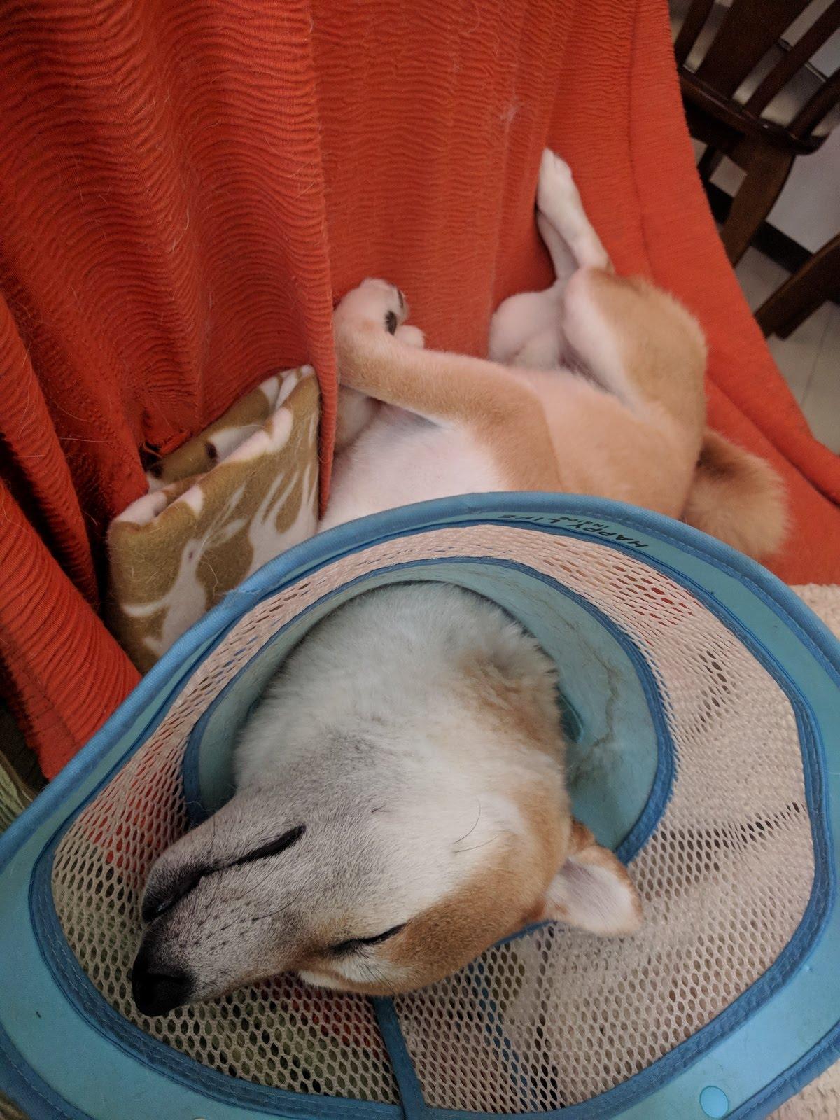 柴犬ハナのお気に入りソファー