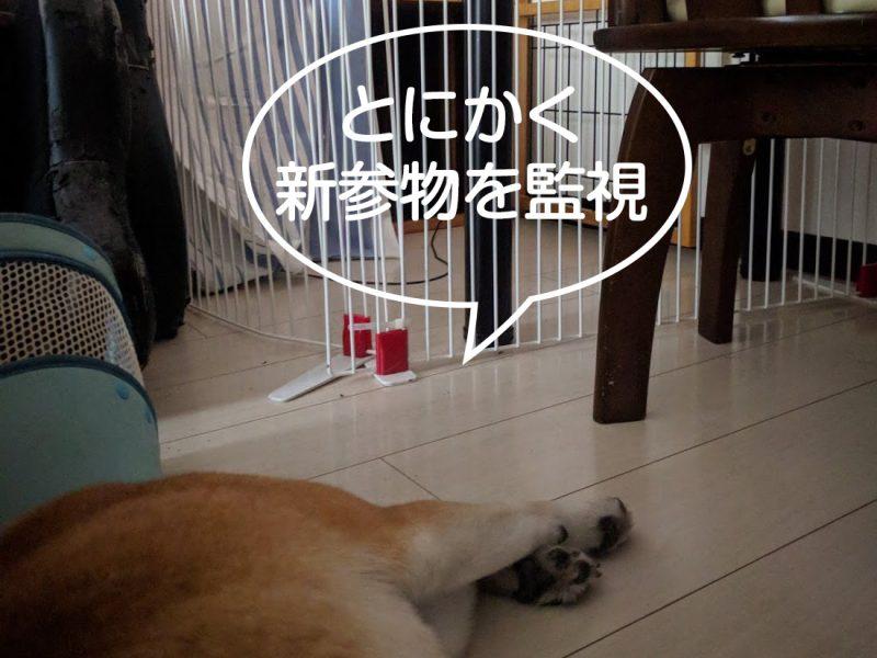 好奇心旺盛すぎる柴犬