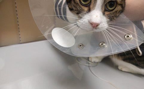 膿胸で入院中 猫